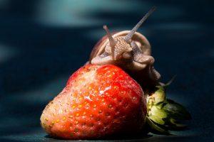 Чем кормить виноградных улиток