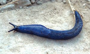 Bielzia coerulans