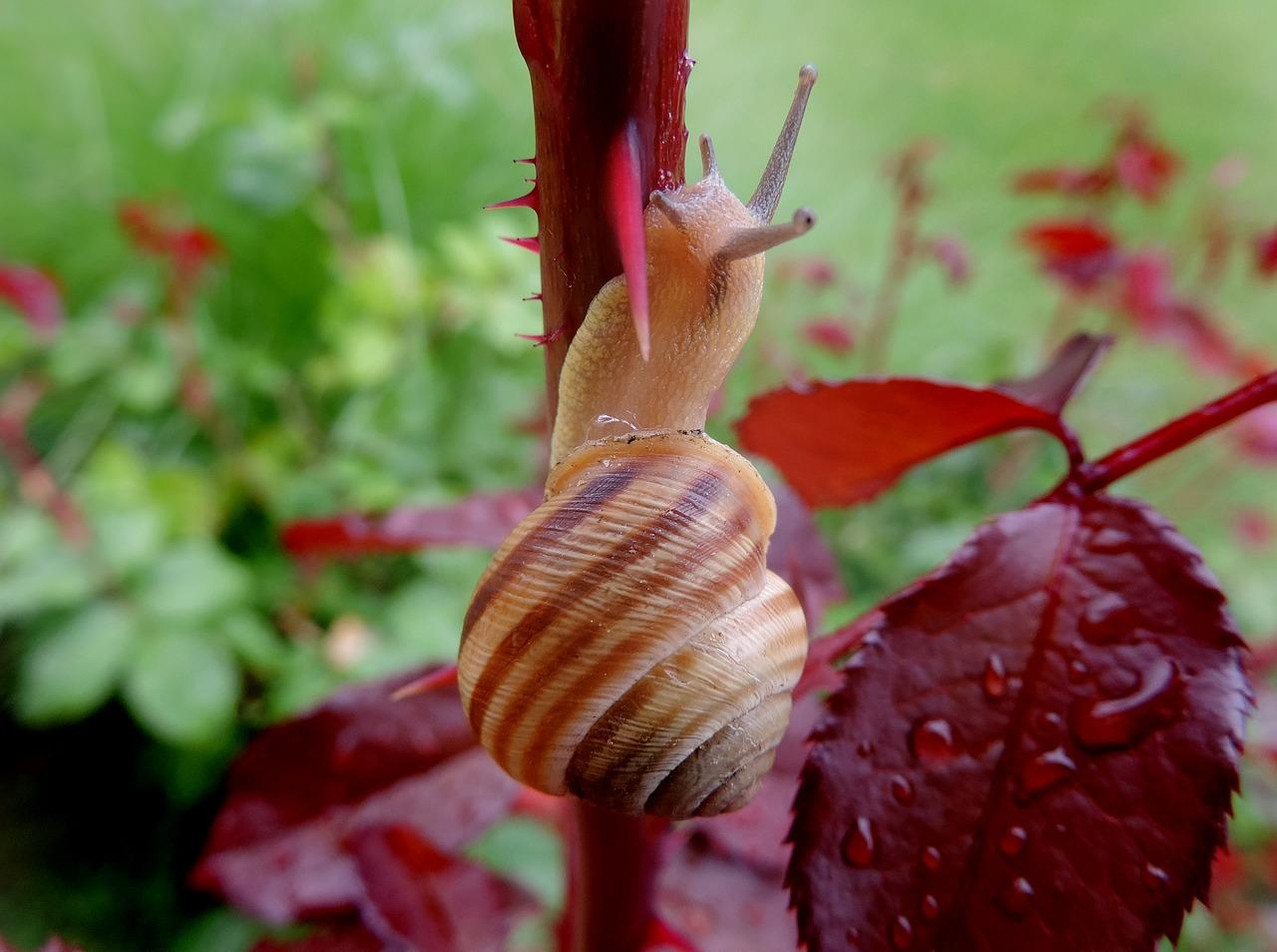 Садовая улитка в домашних условиях