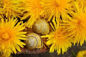 ахатины и одуванчики – какую траву можно улиткам